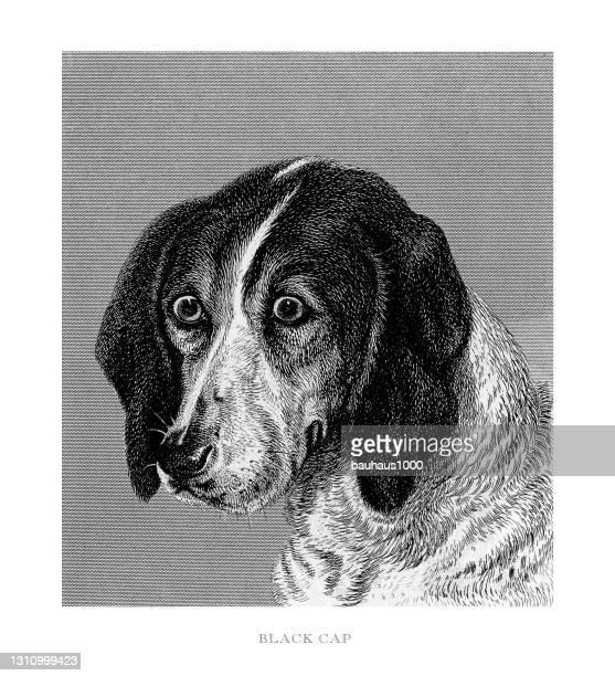 porträt eines black cap fox hound gravierte illustration - fuchspfote stock-grafiken, -clipart, -cartoons und -symbole