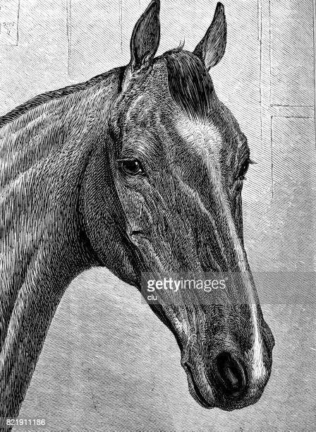 portrait of a horse - looking at camera stock illustrations