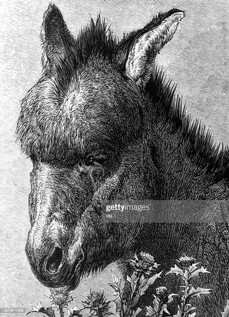 Portrait of a young donkey : stock illustration