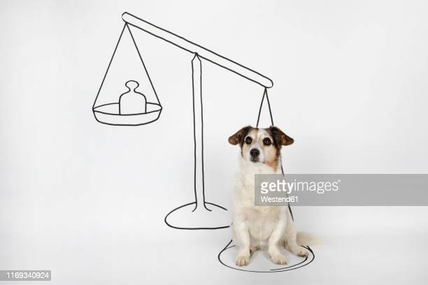 portrait of mongrel sitting on drawn scale on white ground - scale stock illustrations