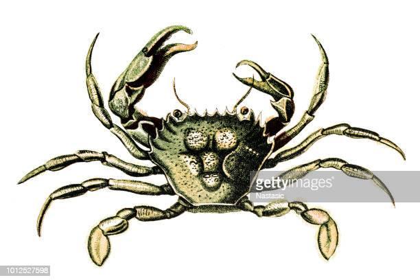 illustrations, cliparts, dessins animés et icônes de portunus trituberculatus, le crabe gazami, le japonais crabe bleu ou le crabe de cheval - crabe