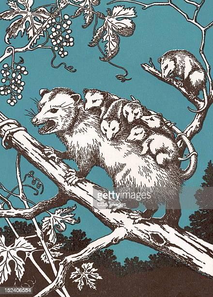 possum with babies - possum stock illustrations