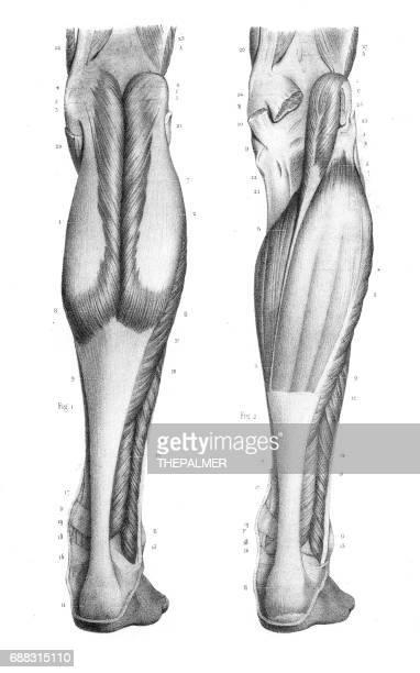 Posterior leg region anatomy engraving 1866