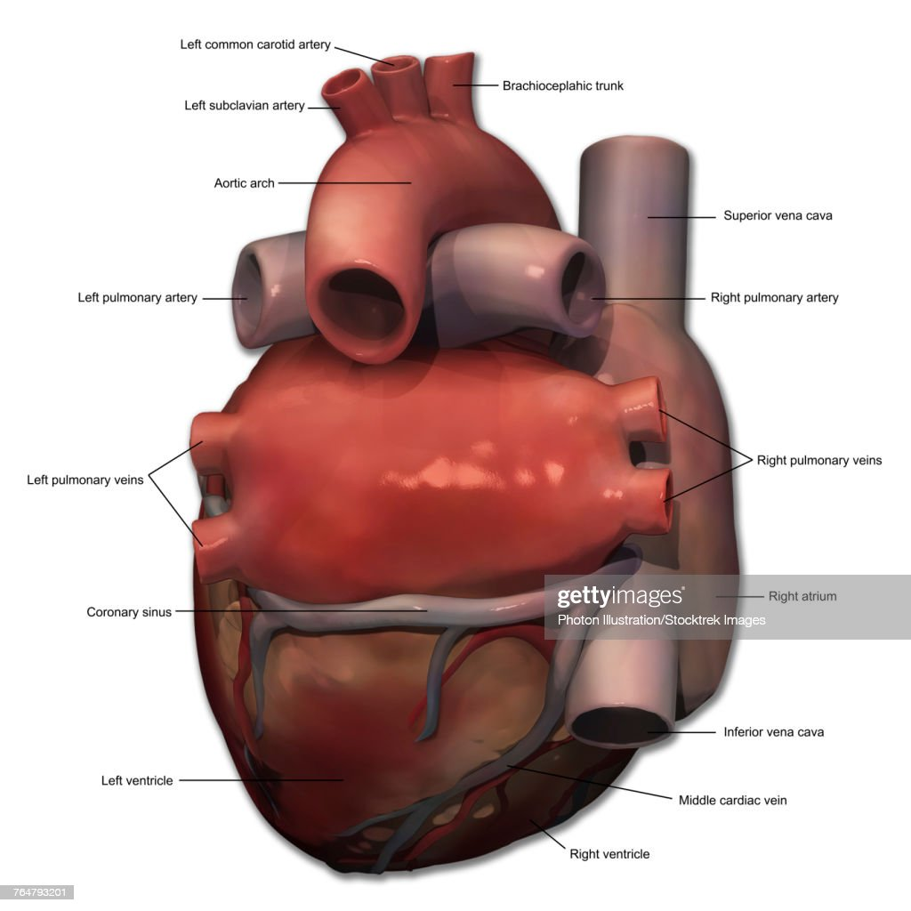 Posterior View Of Human Heart Anatomy With Annotations Stock