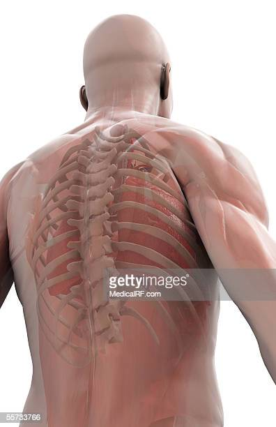 posterior view of the ribcage and upper spine as seen in a semi-transparent male torso. - human back stock illustrations, clip art, cartoons, & icons