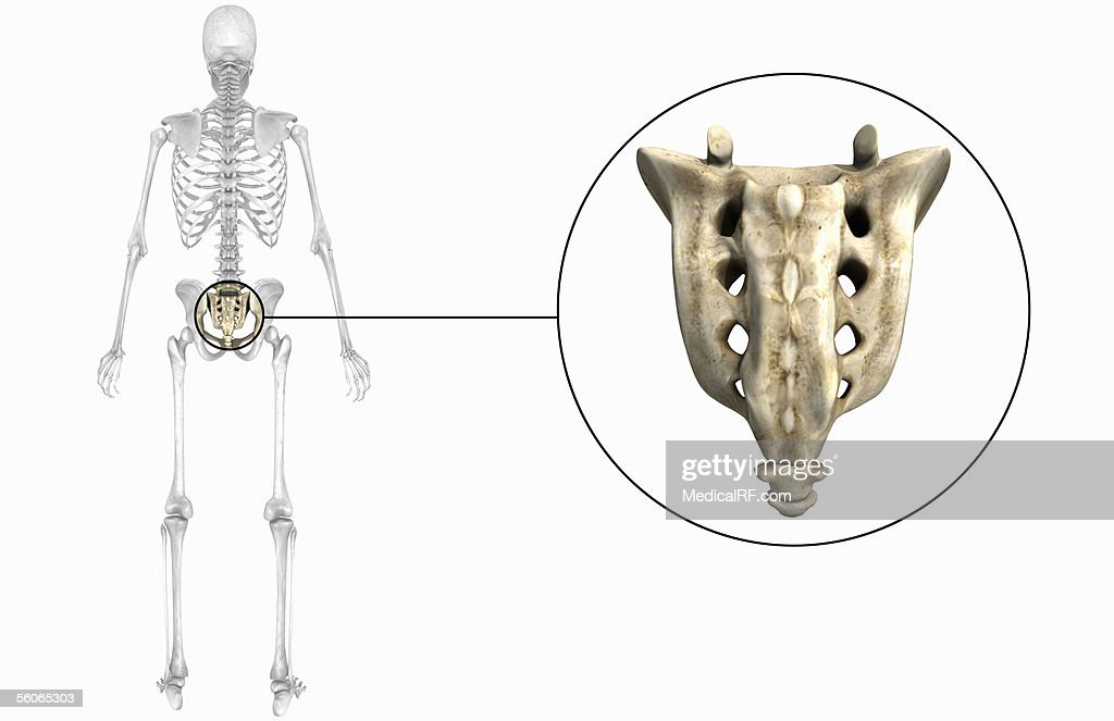Posterior View Of The Sacrum And Coccyx Stock Illustration Getty