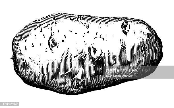 potato - 19th century stock illustrations