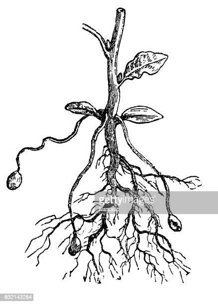 potato plant - root stock illustrations, clip art, cartoons, & icons