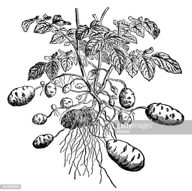 Potato plant ( Solanum tuberosum)