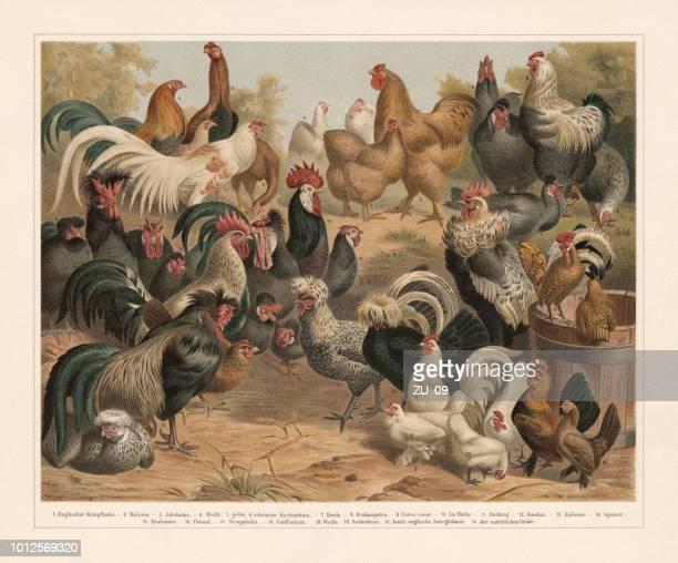 ilustrações, clipart, desenhos animados e ícones de aves de capoeira, chromolithograph, publicado em 1897 - cockerel