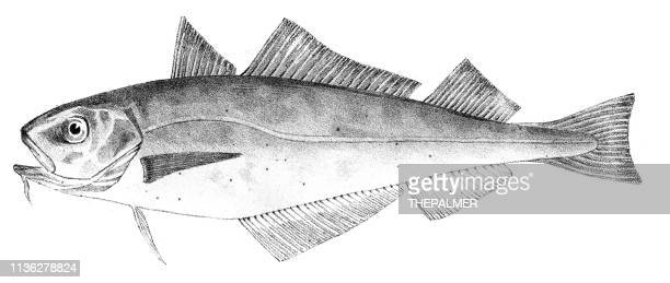Power Cod fish engraving 1842