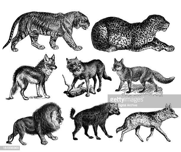 predators' illustrations - tiger, lion, wolf, fox, hyena, leopard, coyote - antique stock illustrations