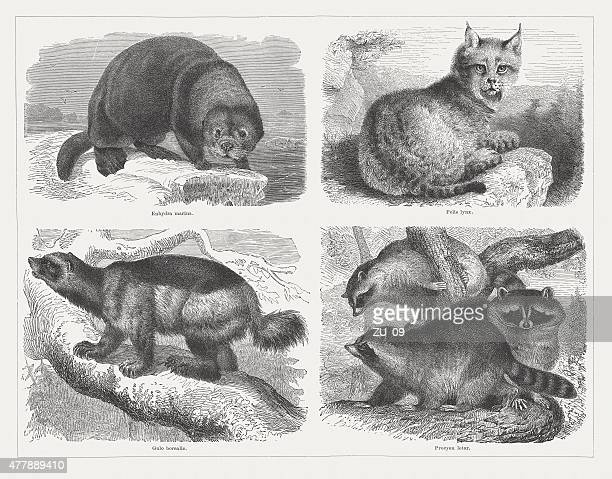 predators, wood engravings, published in 1878 - lynx stock illustrations, clip art, cartoons, & icons