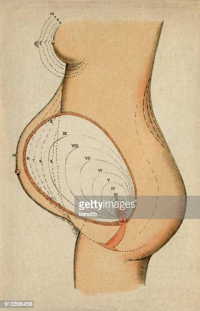 Female Anatomy Diagram Stock Illustrations And Cartoons | Getty Images