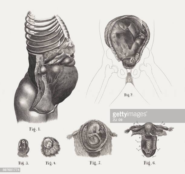 pregnancy with embryos at various stages, steel engravings, published 1861 - placenta stock illustrations, clip art, cartoons, & icons