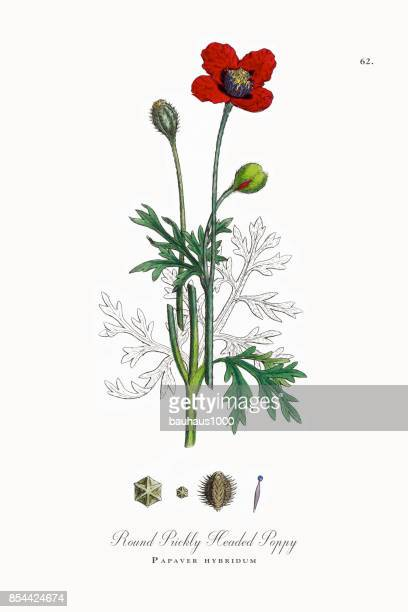 prickly headed poppy, papaver hybridum, victorian botanical illustration, 1863 - poppy stock illustrations, clip art, cartoons, & icons