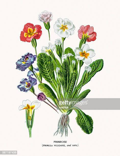 Primrose primula flower