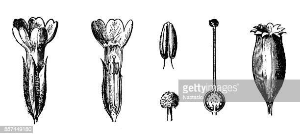 Primula auricula (auricula, mountain cowslip) section