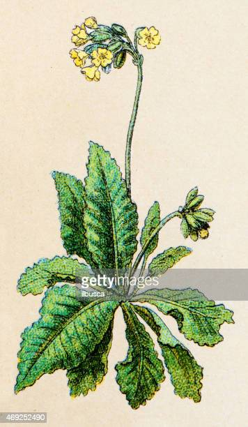 Primula elatior (oxlip), plants antique illustration