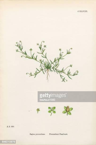 procumbent pearlwort, sagina procumbens, victorian botanical illustration, 1863 - plant bulb stock illustrations, clip art, cartoons, & icons