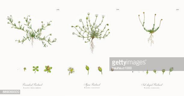 procumbent pearlwort, sagina procumbens, victorian botanical illustration, 1863 - sandwort stock illustrations, clip art, cartoons, & icons