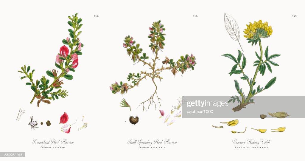 Grada de resto procumbentes, Ononis arvensis, victoriano ilustración botánica, 1863 : Ilustración de stock
