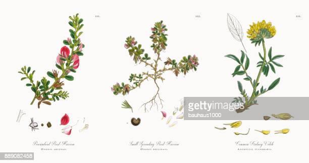ilustraciones, imágenes clip art, dibujos animados e iconos de stock de grada de resto procumbentes, ononis arvensis, victoriano ilustración botánica, 1863 - planta de manzanilla