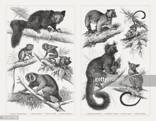 prosimians, wood engravings, published in 1897 - lemur stock illustrations, clip art, cartoons, & icons