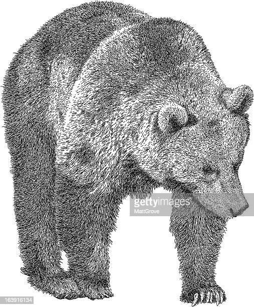 ilustraciones, imágenes clip art, dibujos animados e iconos de stock de rondar bear - oso pardo