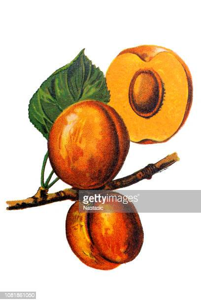 X Prunus armeniaca (ce qui signifie prune arménienne) également appelé ansu abricot, abricot, Sibérie tibétain abricot