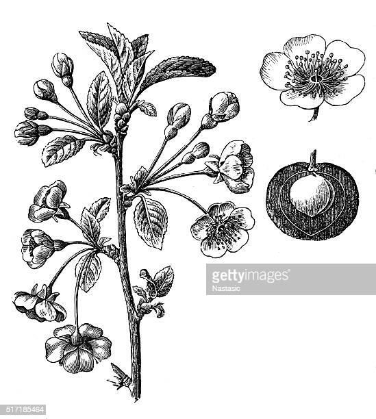 ilustraciones, imágenes clip art, dibujos animados e iconos de stock de prunus cerasus (cereza agria, pastel de cereza, o cereza enana - cherry tree