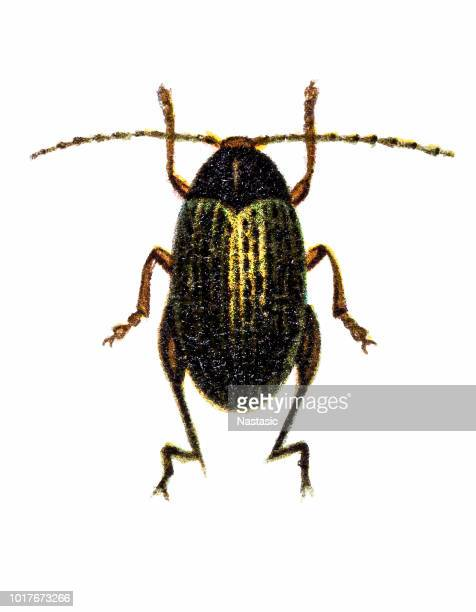 Psylliodes chrysocephala or Psylliodes chrysocephalus, commonly known as the cabbage-stem flea beetle