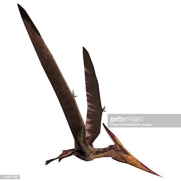 pteranodon was a reptilian bird from the late cretaceous of north america. - paleontology stock illustrations