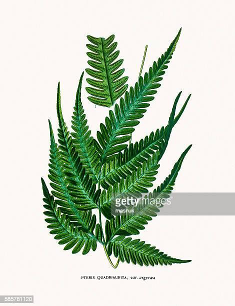 illustrations, cliparts, dessins animés et icônes de pteris fern - plante verte