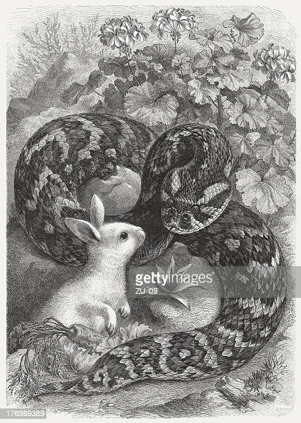 Puff adder and rabbit, wood engraving, published in 1883