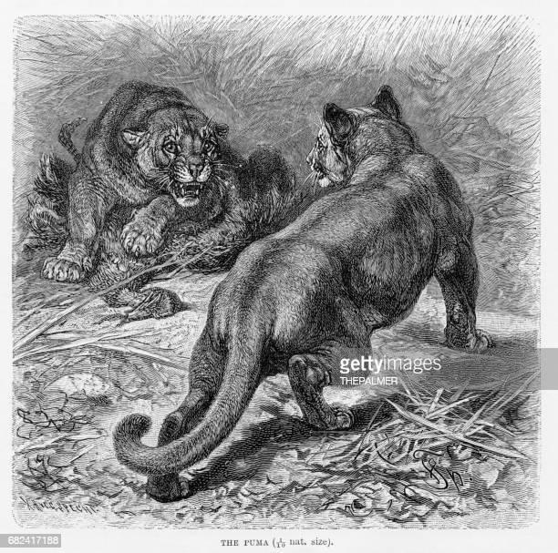 ilustraciones, imágenes clip art, dibujos animados e iconos de stock de puma grabado 1894 - puma