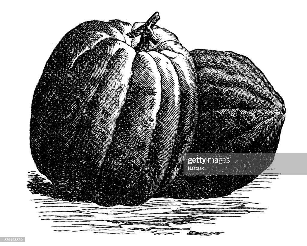 Pumpkin : stock illustration