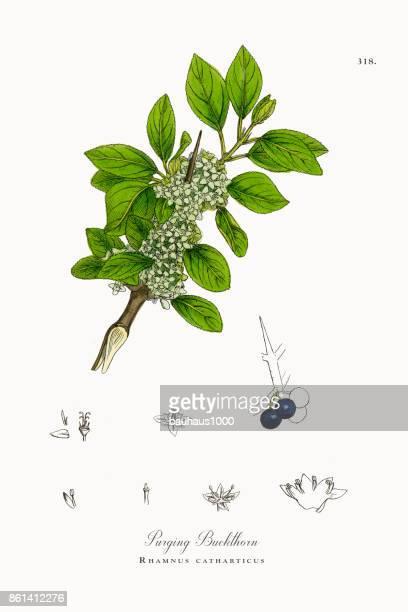 purging buckthorn, rhamnus catharticus, victorian botanical illustration, 1863 - plant bulb stock illustrations, clip art, cartoons, & icons