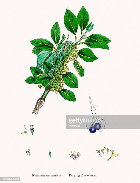 purging buckthorn used in medicine and dying - plant attribute stock illustrations, clip art, cartoons, & icons