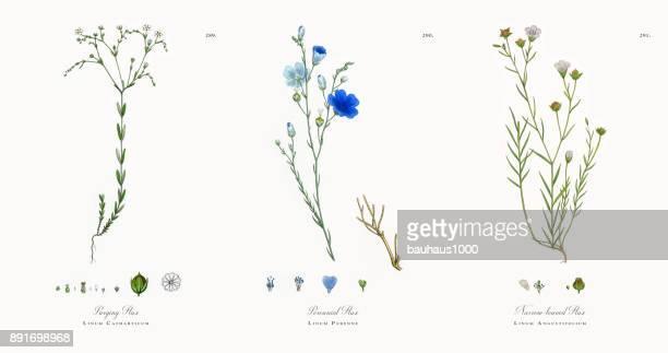 purging flax, linum catharticum, victorian botanical illustration, 1863 - 19th century stock illustrations