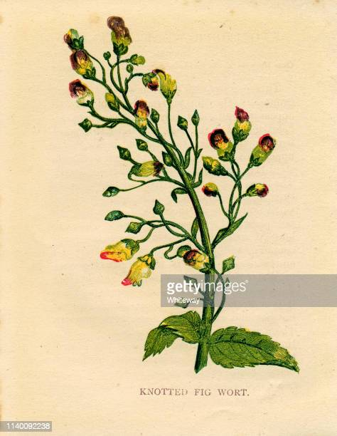 purple wildflower knotted figwort victorian botanical illustration by anne pratt - graphic print stock illustrations