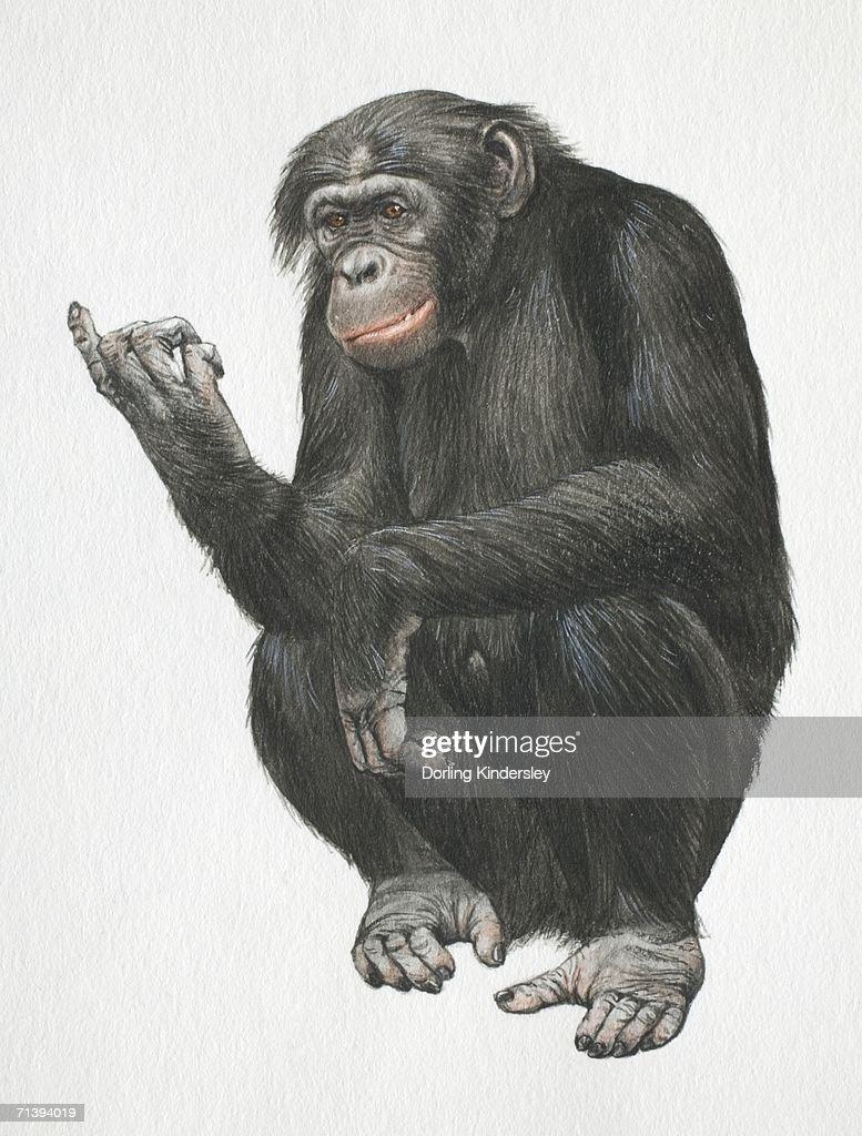 Pygmy chimpanzee, Pan troglodytes, crouching down on its legs, front view. : stock illustration