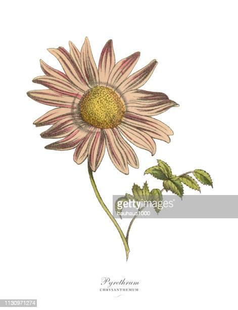pyrethrum oder chrysanthemenwerk, viktorianische botanische illustration - handcoloriert stock-grafiken, -clipart, -cartoons und -symbole