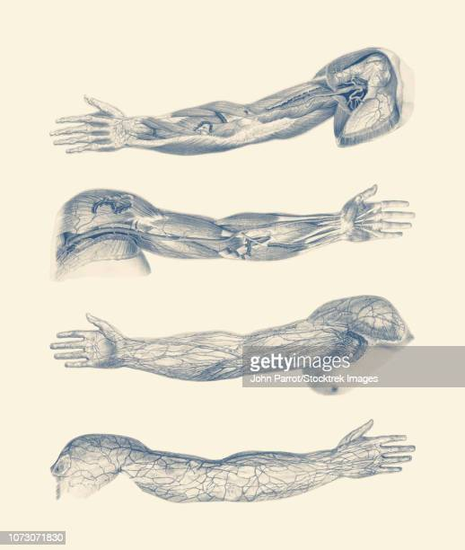 a quad-view diagram of the human arm and hand, showcasing ligaments, muscles and veins. - myocardium stock illustrations, clip art, cartoons, & icons