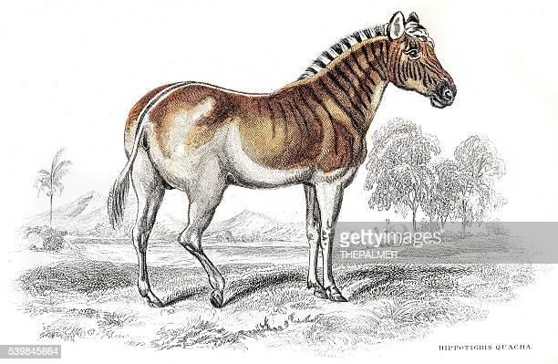 ilustraciones, imágenes clip art, dibujos animados e iconos de stock de quagga cebra animal extinto grabado 1841 - animal extinto