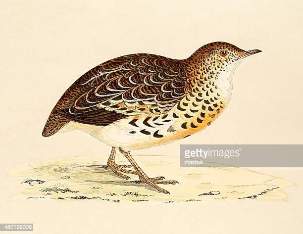 quail,  19th century illustration - quail bird stock illustrations, clip art, cartoons, & icons