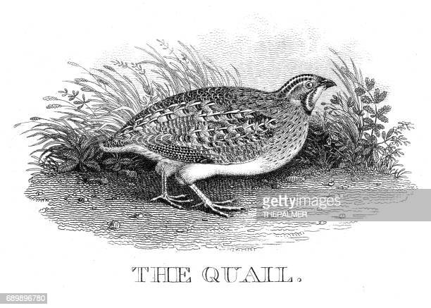 quail engraving 1812 - quail bird stock illustrations, clip art, cartoons, & icons