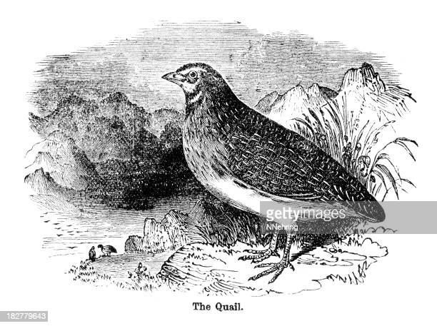 quail engraving - quail bird stock illustrations, clip art, cartoons, & icons