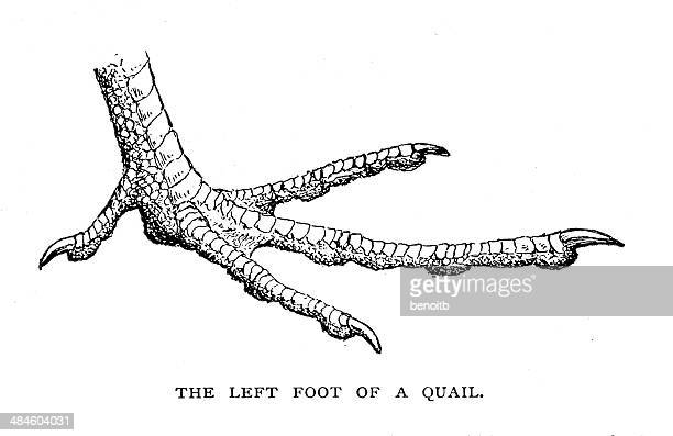 quail foot - quail bird stock illustrations, clip art, cartoons, & icons