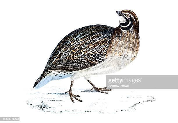 quail - hand coloured engraving - quail bird stock illustrations, clip art, cartoons, & icons